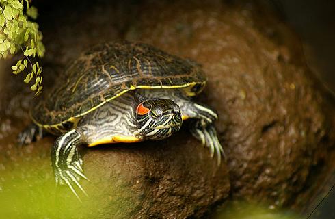 vörös foltok a vörös fülű teknős bőrén)