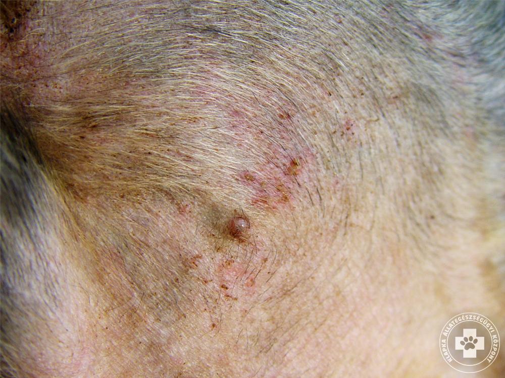 Kutya bőrbetegségek okai, tünetei és kezelésük