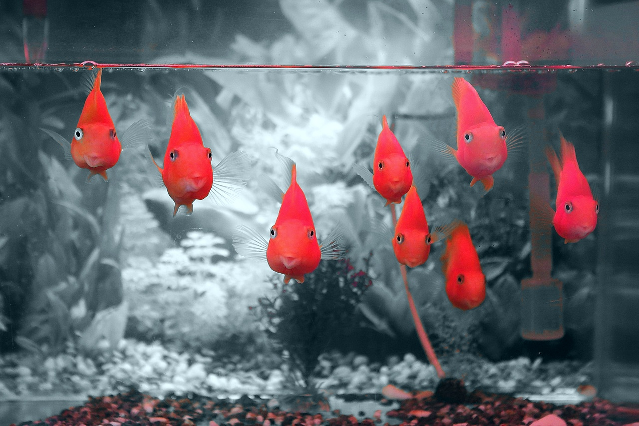 vörös foltok a halak arcán)