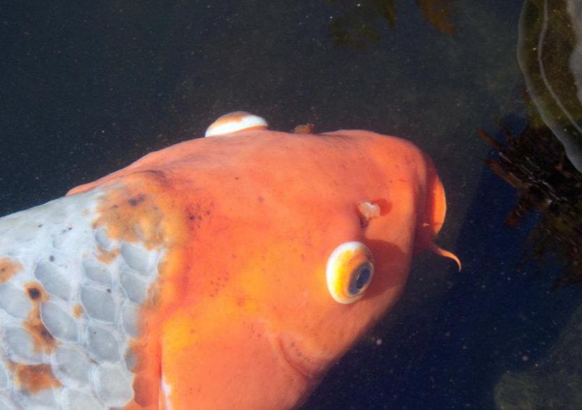 hogyan kell kezelni az aranyhalat a vörös foltok miatt