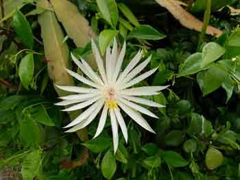 epiphyllum kezeli a pikkelysmr)