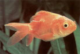 vörös folt az aranyhal hasán
