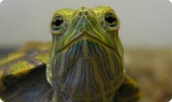 Mocsári teknős – Wikipédia