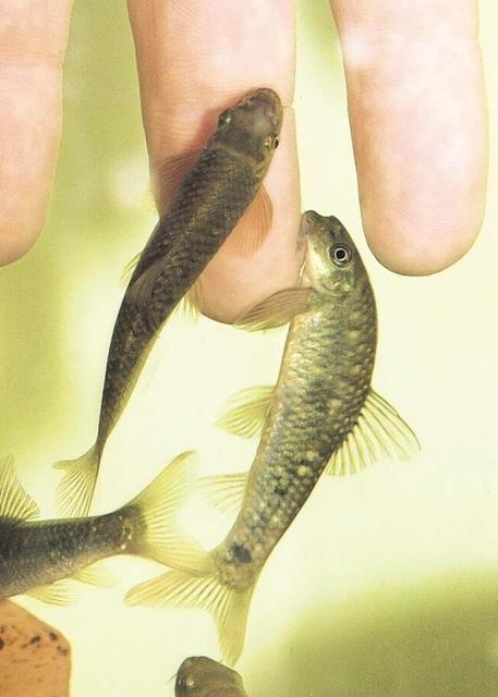 pikkelysömör kezelésére hal)