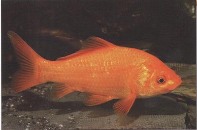 aranyhalak hasán vörös foltok vannak vörös foltok jelennek meg a testen viszket és eltűnnek
