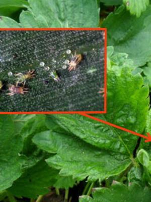 Mitől van tele apró foltokkal a szamóca levele? - Agrofórum Online