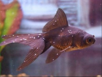 vörös folt az aranyhal hasán)