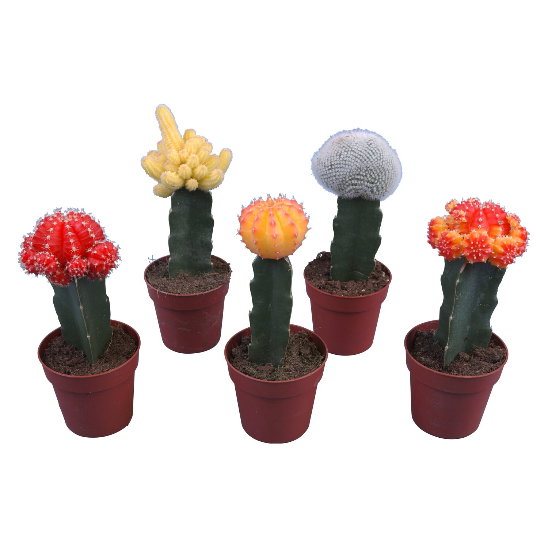 kaktuszok pikkelysömör kezelése