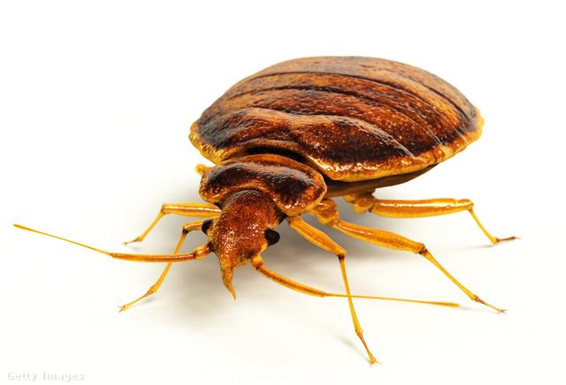 Rejtőzködik és csíp: így szabadulj meg az ágyi poloskától - Dívány