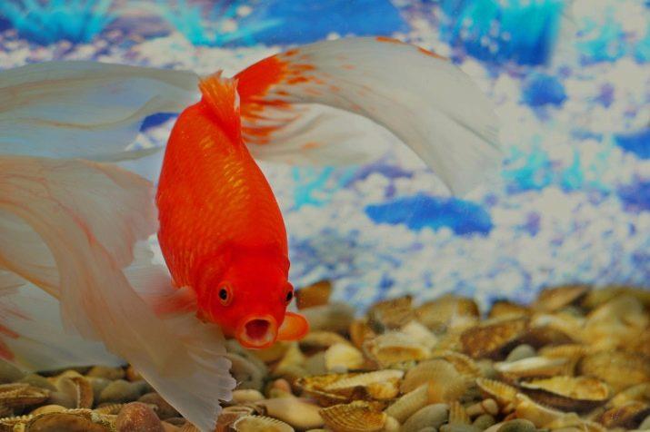 Aranyhal fején piros folt, kicsit nehézkesen mozog, mintha fáradt lenne. Mit jelent?