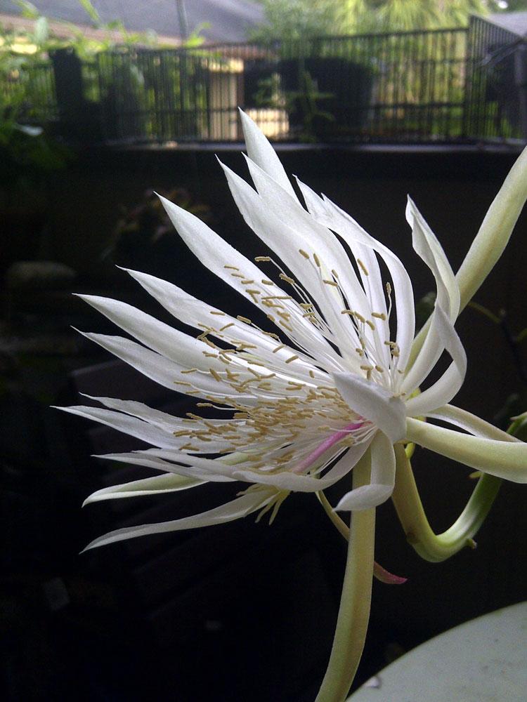 epiphyllum kezeli a pikkelysmr