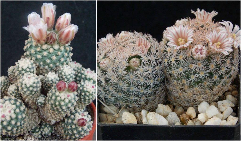 kaktuszok pikkelysömör kezelése kenőcs hormonok nélkül pikkelysömörhöz