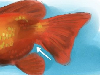 Az aranyhalamnak bevérzés van a farkuszonyának a végein...
