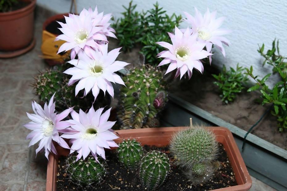 kaktuszok pikkelysömör kezelése gyógymódok a kezén lévő vörös foltok ellen