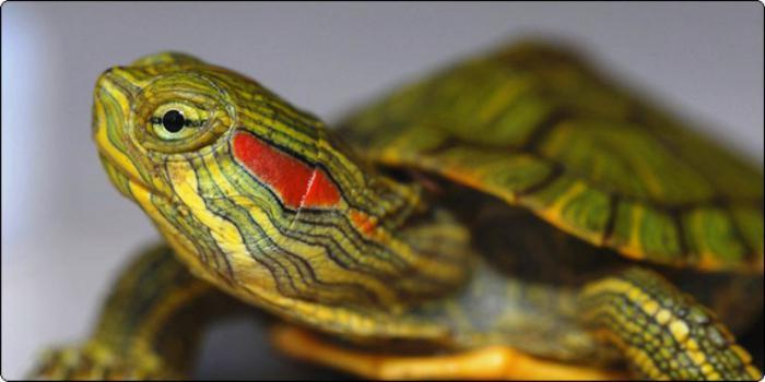 vörös foltok a vörös fülű teknős bőrén Rodionova pikkelysömör kezelése