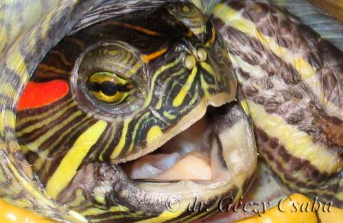 vörös foltok a vörös fülű teknős bőrén nagy piros foltok a lábán fájt fotó