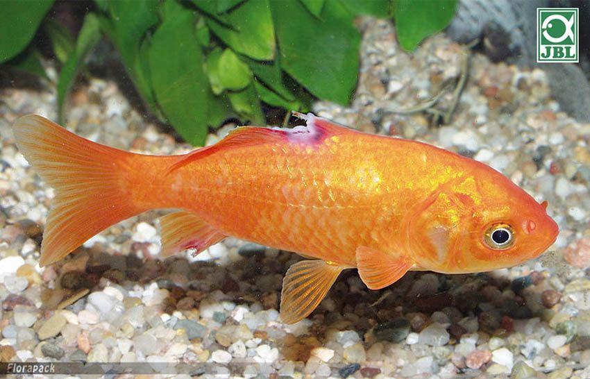 hogyan kell kezelni az aranyhalat a vörös foltok miatt)