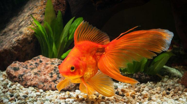 vörös folt az aranyhal hasán vörös foltok az alsó lábszáron, mint kezelni